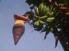 フィリピンのバナナの花
