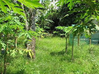 パパイヤの木がある学校建設予定地